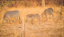 Safari's met overnachtingen op de Zambiaanse savanne