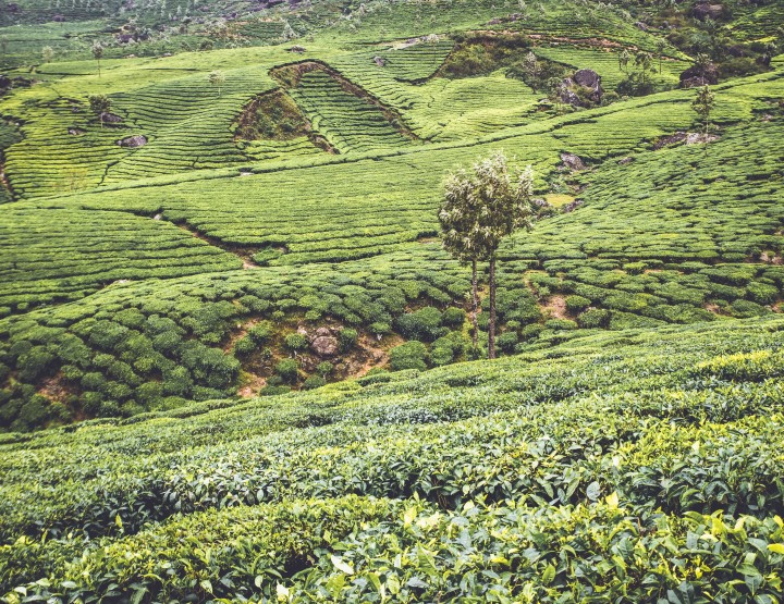 Tot rust komen in India? Go Munnar!