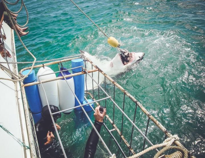Maak een kooiduik met witte haaien in Zuid-Afrika