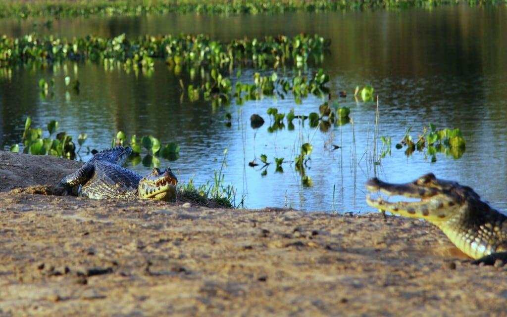 brazilie-pantanal-kaaimannen