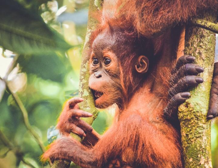 Ga opzoek naar de Orang-Oetans op Borneo